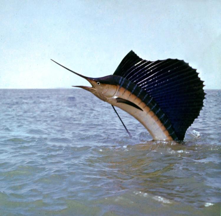 Resultado de imagem para pescando agulhão bandeira
